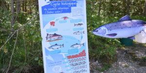 Retour en image sur la journée mondiale des poissons migrateurs