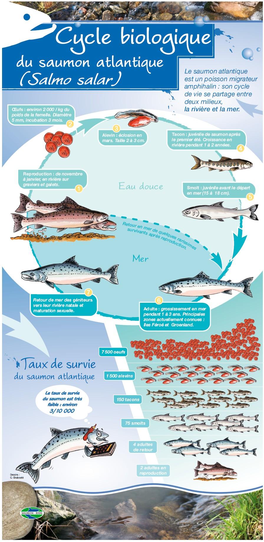 cycle biologique du saumon; Source: association saumon-Rhin
